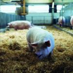 Schweinehaltung im Stall (Multiresistente Keime)